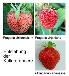 Charlys Erdbeer Sorten Wwwcharlys Erdbeerhofde